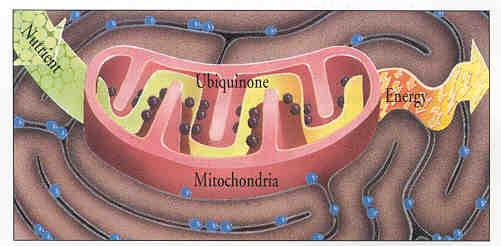 Q10 Mitochondria